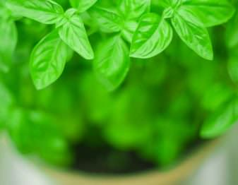 Our best tips for growing basil on your window ledge