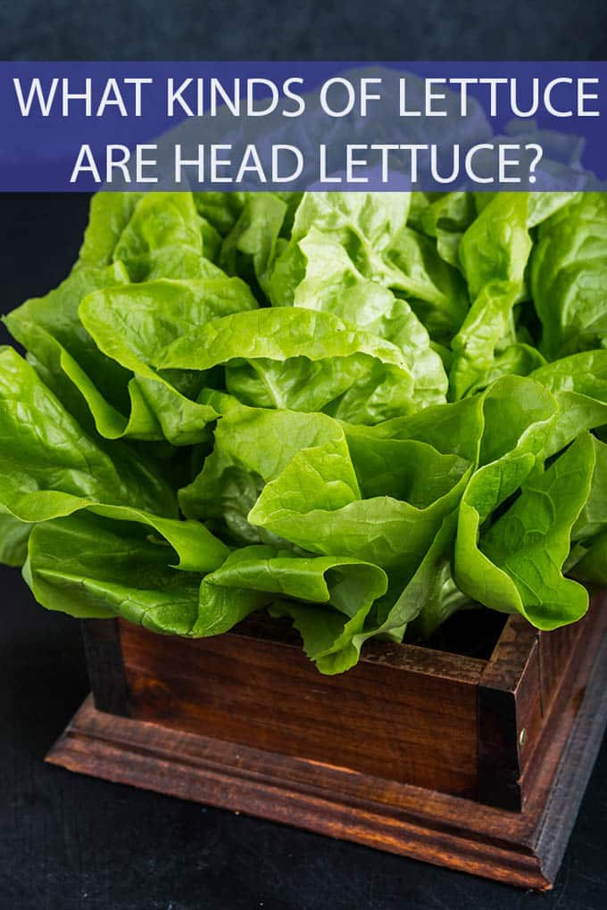 Leaf lettuce, head lettuce, green lettuce, red lettuce....who knew there were so many kinds of lettuce? This is your handy guide to knowing what kind of lettuce is known as head lettuce. #lettuce